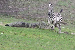 Zebra Stock II 86 by LuDa-Stock