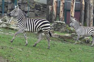 Zebra Stock II 98 by LuDa-Stock