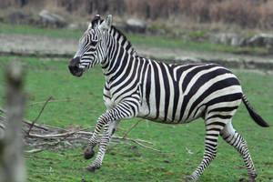 Zebra Stock II 93 by LuDa-Stock