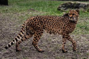 Cheetah Stock 5 by LuDa-Stock