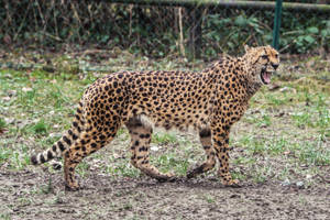 Cheetah Stock 31 by LuDa-Stock