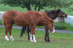 Chestnut Riding Pony and Bay Andalusian by LuDa-Stock