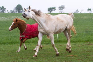 White Warmblood and Chestnut Pony on Meadow by LuDa-Stock
