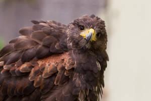 Harris Hawk Portrait Stock by LuDa-Stock
