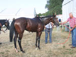 Everyday Stock - Bathing a bay Thoroughbred by LuDa-Stock