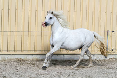 Welsh Pony Canter on Paddock Stock by LuDa-Stock
