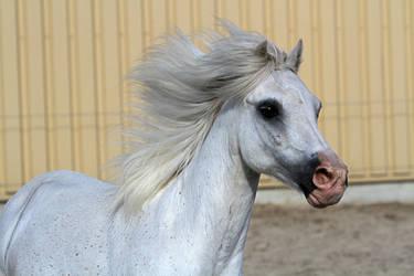 A Miniature Arabian - Welsh Portrait by LuDa-Stock