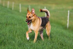 Sheperd Dog Mix Stock IV by LuDa-Stock
