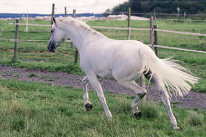 Grey Warmblood Mare Trot Back View by LuDa-Stock