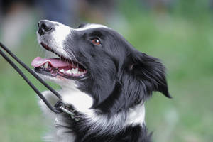 Border Collie Short Hair by LuDa-Stock