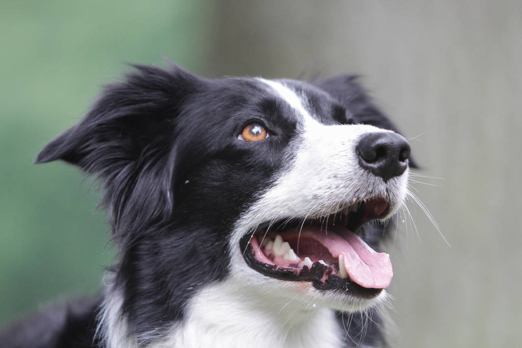 Border Collie Looking Up by LuDa-Stock