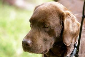 Brown Labrador Retriever Portrait by LuDa-Stock