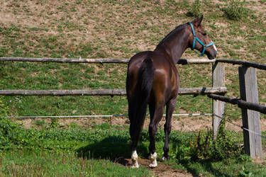 Heavy Warmblood Mare Standing Back View by LuDa-Stock