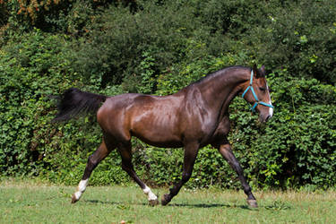 Heavy Warmblood Mare Trotting on Pasture by LuDa-Stock
