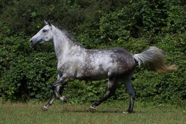 Beautiful Dappled Grey Mare on Paddock 42 by LuDa-Stock