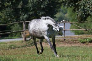 Beautiful Dappled Grey Mare on Paddock 47 by LuDa-Stock