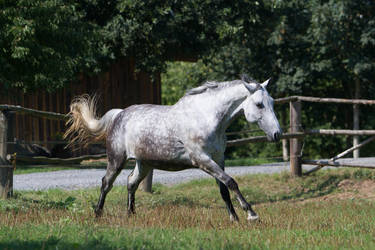 Beautiful Dappled Grey Mare on Paddock 44 by LuDa-Stock