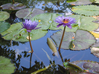 Lily Pond by DarkroomWars