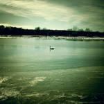 The swan by VexingArt