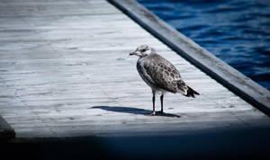 Seagull`s chick by RasmusLuostarinenArt