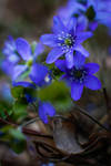Hepatica by RasmusLuostarinenArt