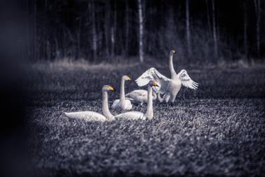 Swans by RasmusLuostarinenArt
