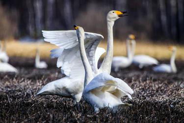 Dance like a swan by RasmusLuostarinenArt