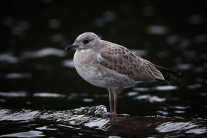 Gull chick by RasmusLuostarinenArt