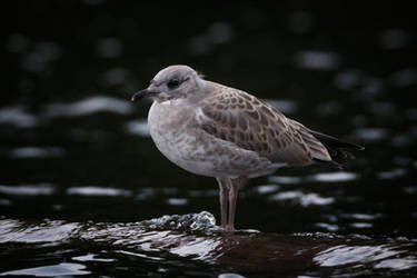 Gull chick by RasmusLuostarinenArt