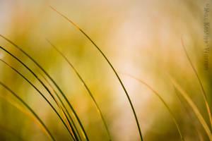 Beach Grass 3 by MaxK-W