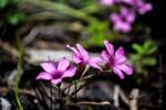 Spring Beauty by MaxK-W
