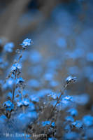Forget-Me-Not by MaxK-W