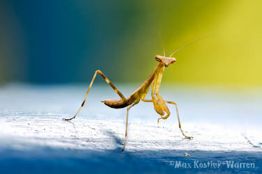Praying Mantis by MaxK-W
