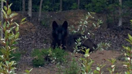 Black Wolf by GreyCorbie
