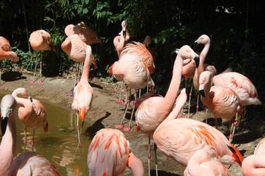 Chilean Flamingos by TheDreamingRoyal