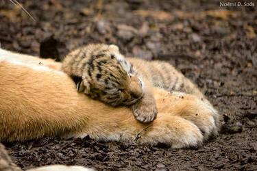 Half day old Amur tiger baby by SosiNonoo