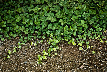 ivy - stock by CO2PHOTO-stock