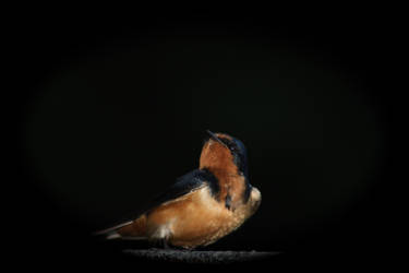 swallow 1 by owlbird