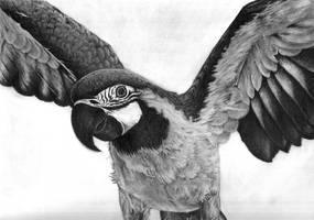 Papuga by Obeluss