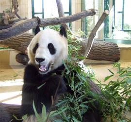 Big Panda by HTom