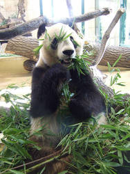 Big Panda eating and 'hiding' by HTom