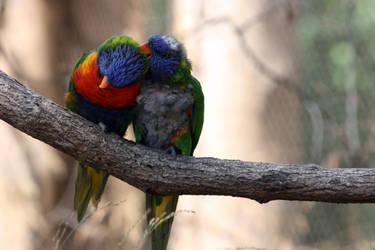 Parrots in love by RivalCz