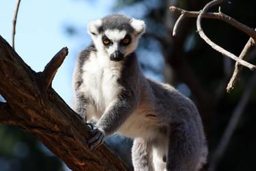 Lemur Kata by RivalCz
