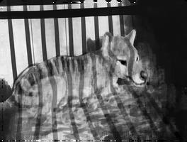 Thylacine - Digital Painting 02 [Study] by drygani-art