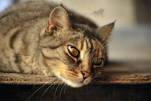Lazy cat by firegold