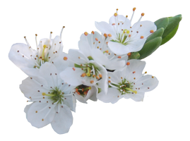 Blossom PNG.. by AledJonesDigitalArt