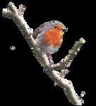 Robin On a Branch PNG.. by AledJonesDigitalArt