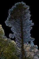 Pine Tree Stock 02 PNG.. by AledJonesDigitalArt