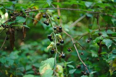 Berries in the Rain by Faldrian