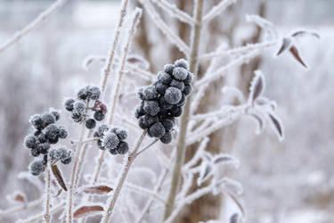 Frozen Berries by Faldrian